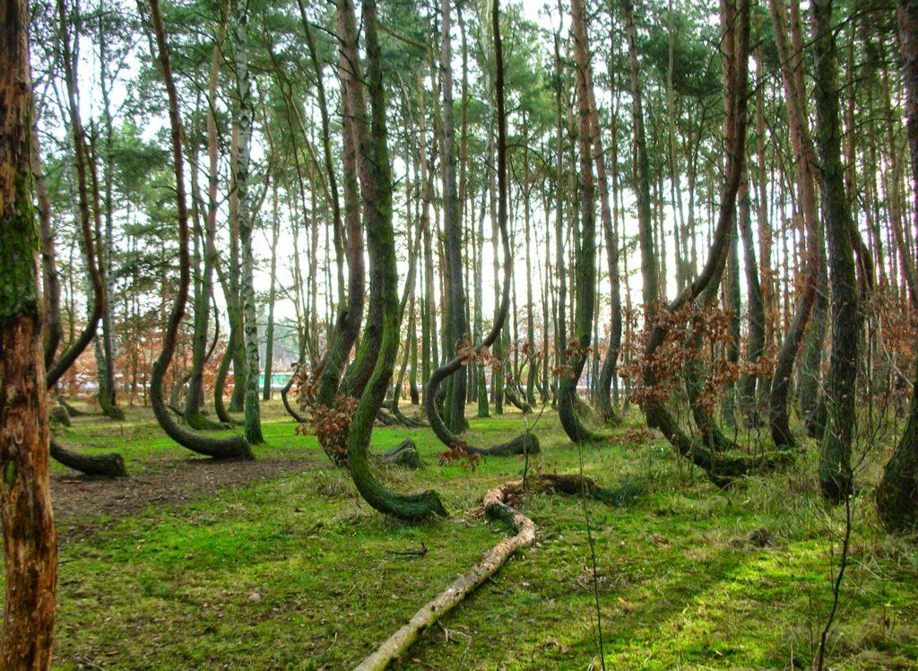 Кривой лес в Польше